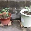 トマトの鉢植えが、お目見えですよ。
