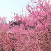 春の花で気持ちをほぐす おおくぼ台梅園
