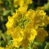 菜の花と河津桜(太陽が丘編)