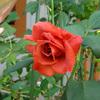 今年のバラは・・・