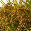 【離乳食・補完食】お米に含まれる「ヒ素」について。