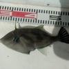 コマセ真鯛で真鯛を狙う。潮流が速いときは、ハリスを長めにとって、コマセと付けエサを同調させる。