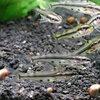 熱帯魚 観賞魚 アジアクリスタルキャット 3匹セット
