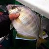 【福丸】目指せ!海鮮丼!ケンサキイカ五目釣り ~ 五目釣り編 ~