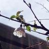今年も富士桜が開花