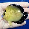 【現物6】ゴールドフレーク 7.5cm±水魚 ヤッコ 餌付け!15時までのご注文で当日発送【ヤッコ】