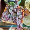 🌵多肉植物  赤紫蘇の様なシンガールブラ他🌵