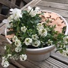 真っ白なビオラとアリッサムの寄せ植えにピンクの素焼きチップスをトッピング