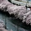 京急 大岡川の桜 2015 その2