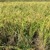 初めての稲刈り体験🌾