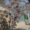 桜トンネル!