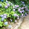 森の中のあじさい散策 IN 神戸市立森林植物園 7/15(月)まで開催中