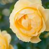 秋バラをD90で撮影