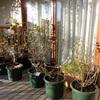 鉢植えバラ防寒対策