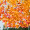 【写真修復の専門店】鷹峰の紅葉 真っ赤な見頃に加工