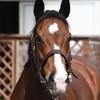 Staright Girl  ストレイトガール イギリスなどで繋養生活を送る日本産繁殖牝馬。