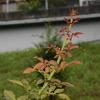 2013/08/26 2〜3日前からの雨と気温の低下でバラ達が芽を吹き始めた!!