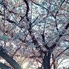 造花の桜花とクロール