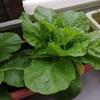 プランターで育てた白菜を収穫 さっそく鍋にしてみる