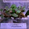 ブセファランドラsp.Phantom/Kedagang red