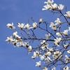 コブシ(辛夷(しんい))の花言葉とは?花・実・葉はどんなもの?