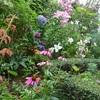 今朝の庭から・・・庭に彩りバラのシュートと果樹