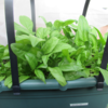 家庭菜園、ほうれん草と水菜はかきとり収穫で長く楽しんでいます