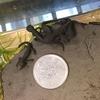 アカハライモリ幼体('17)の成長 4