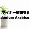 マイナー植物を育てる:Adenium Arabicum TDD