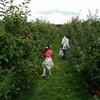 今年もりんご狩り