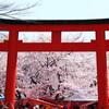 京都満開桜2日目
