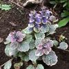 アジュガ バーガンディ グロー、開花でグッと好印象