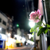 1日1花【1日目】バラ
