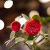 赤い花ばかり撮っていた:いのくち椿まつり
