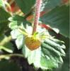 四季なりイチゴ 実が膨らむ (322日目)