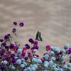 千日紅の蜜を吸うアオスジアゲハ