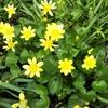 ヒメリュウキンカらしき花、大繁殖