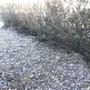 西洋ツゲ「ボックスウッド」で垣根(生垣)をDIY/ボックスウッドの紅葉