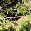 台湾 阿里山で野鳥観察7月16日〜7月19日