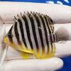 【現物1】シマヤッコ 6cm±! 海水魚 生体 15時までのご注文で当日発送【ヤッコ】