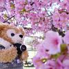 河津桜が満開の戸田川緑地&ラクレマの素敵な桜