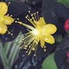 キンシバイの花が再度咲いたよ