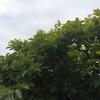 ニンニクとアスパラガスの混植場所でのアスパラガス栽培(管理)方法