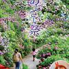 1日(土)より下田公園であじさい祭が始まります