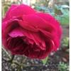明日からまた気温が下がり🌹薔薇の蕾たちは咲いてくれるのでしょうか〜