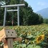 真狩町 真狩神社参道横に伸び行くひまわり畑