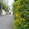 山吹や垣根丸ごと黄に染めて