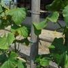野菜の追肥と土寄せ、ニラの収穫