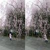 今年の桜と今年の花粉。