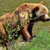 クマを愛し、クマに殺された活動家。グリズリーマン。